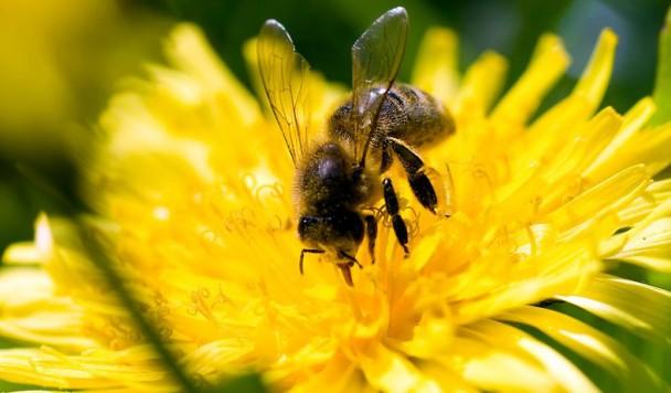 Как искусственный интеллект спасает пчел от вымирания