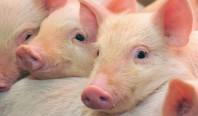 Мозг свиньи был воскрешен спустя четыре часа после смерти животного