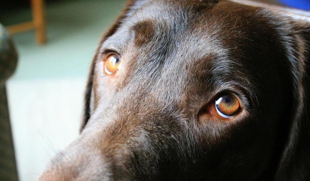 Ученые: Собаки отрастили новую мышцу, чтобы лучше нами манипулировать