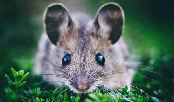 Мыши способны разоблачать фейки, созданные искусственным интеллектом