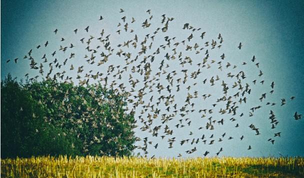 Ученые предлагают фермерам отпугивать ворон лазерами