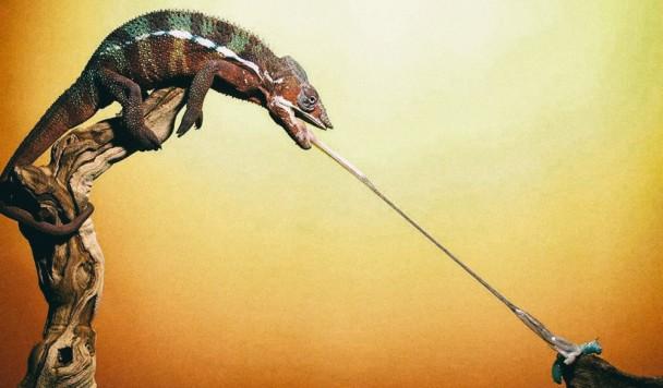 Язык хамелеона вдохновил ученых на создание сверхбыстрых роботов