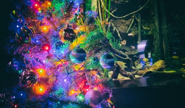Новогоднюю елку запитали от живого электрического угря