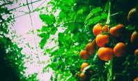 Полупрозрачные солнечные батареи позволяют строить самодостаточные теплицы