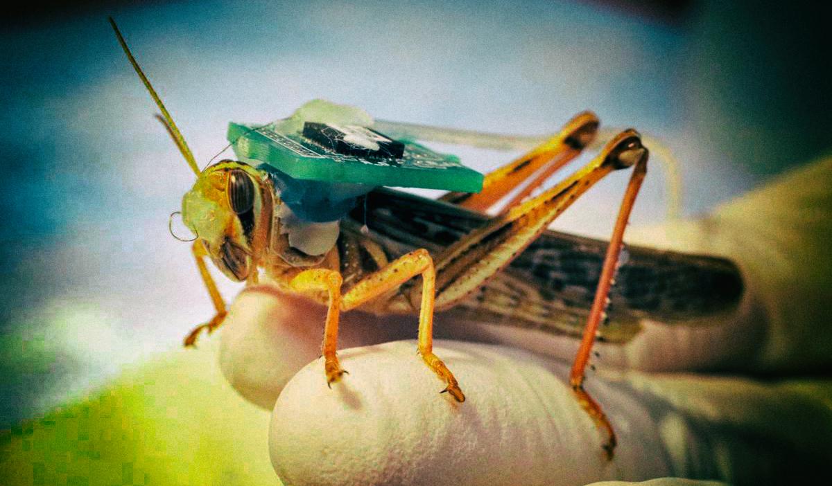 Киборгизированная саранча может обнаруживать взрывчатку