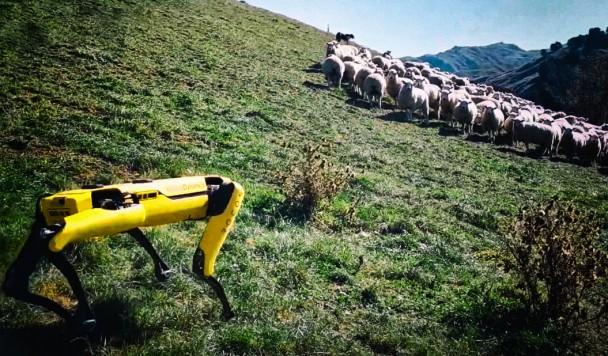 Робопёс Spot работает пастухом в Новой Зеландии
