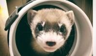 Ученые впервые клонировали вид, находящийся под угрозой исчезновения