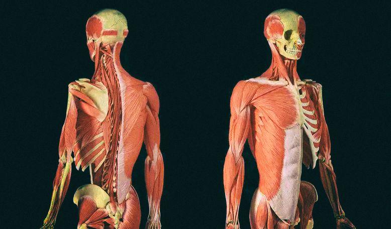 """Разработаны искусственные мышцы, которые можно """"накачать"""""""