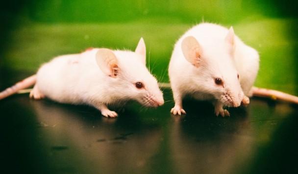 Мозговые импланты заставили двух мышей подружиться