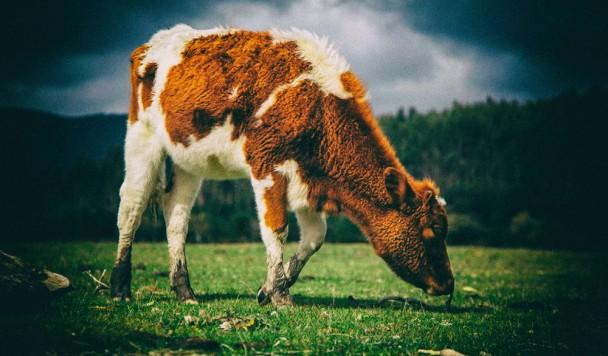Желудочный сок коров может переваривать пластик